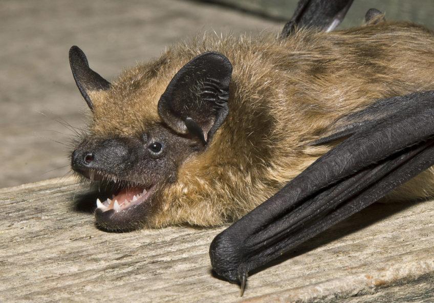 Kasni noćnjak (Eptesicus serotinus)