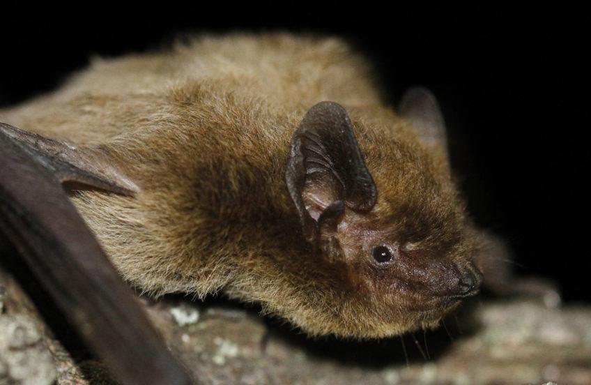 Mali šumski šišmiš (Pipistrellus nathusii)