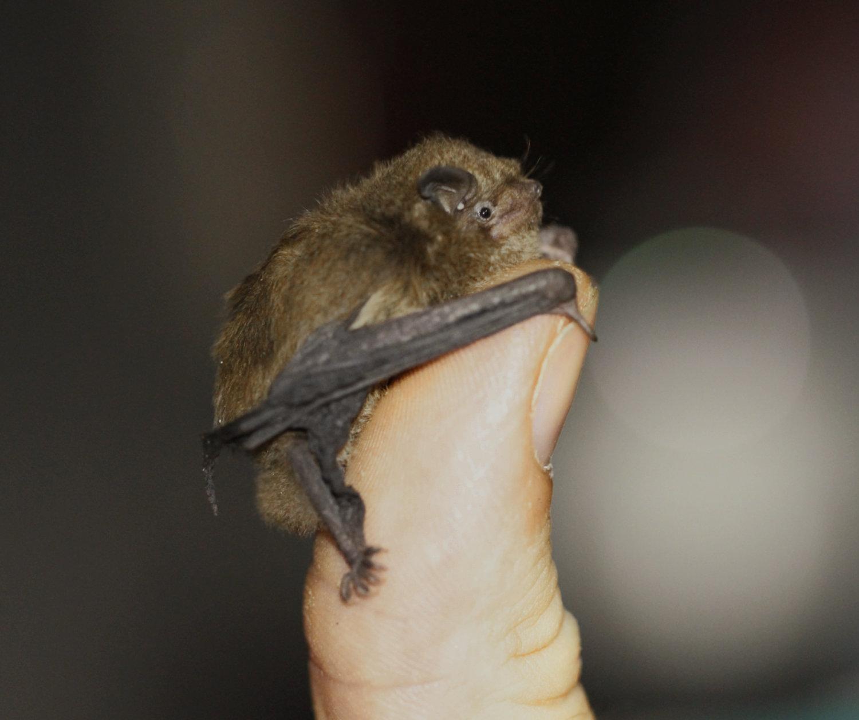 Maleni šišmiš drži se za vrh palca ljudske ruke. Ukupna dužina šišmiševog tijela ne prelazi trećinu dužine palca.
