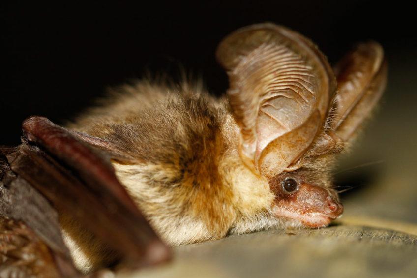 Smeđi dugoušan (Plecotus auritus)