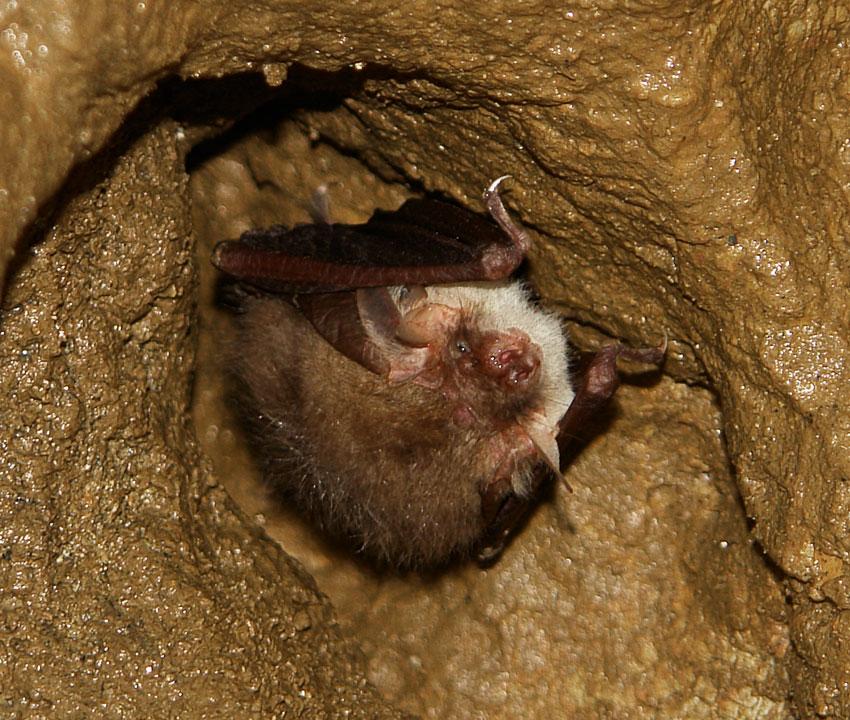Šišmiš u hibernaciji visi u udubljenju na svodu špilje. Uši su mu sklopljene i djelomično prekrivene sklopljenim krilima.