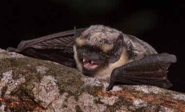 Dvobojni šišmiš (Vespertilio murinus)