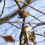 Šišmiš se drži za tanku granu.