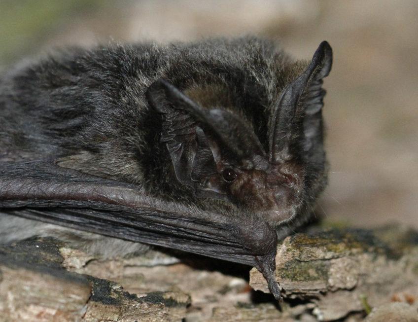 Širokouhi mračnjak (Barbastella barbastellus)