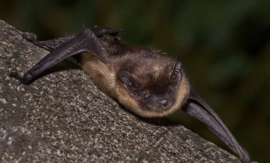 Sjeverni noćnjak (Eptesicus nilsonii)