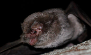 Dugokrili pršnjak (Miniopterus schreibersii)
