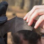 Istraživačica drži tijelo šišmiša jednom rukom a drugom mu je rastegnula jedno krilo.