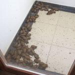 Sklupčani šišmiši leže na podu lođe.